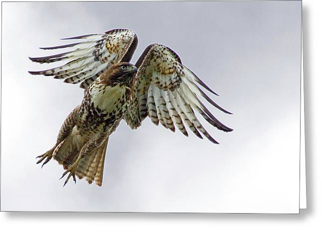 Flying Animal Greeting Cards - Red Tail Takeoff Greeting Card by Randall Ingalls