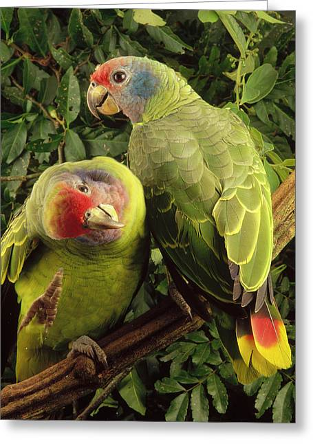 Two Tailed Photographs Greeting Cards - Red-tailed Amazon Amazona Brasiliensis Greeting Card by Claus Meyer