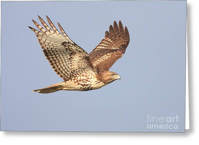 Red-tailed Hawk Greeting Cards - Red Tailed Hawk 20100101-1 Greeting Card by Wingsdomain Art and Photography