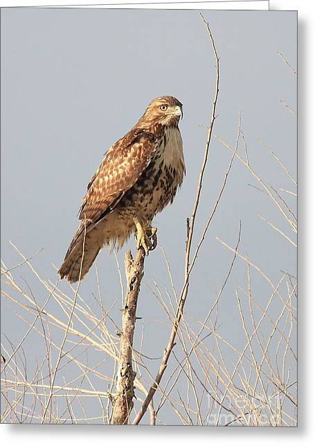 Rth Greeting Cards - Red-Tailed Hawk . 40D11323 Greeting Card by Wingsdomain Art and Photography