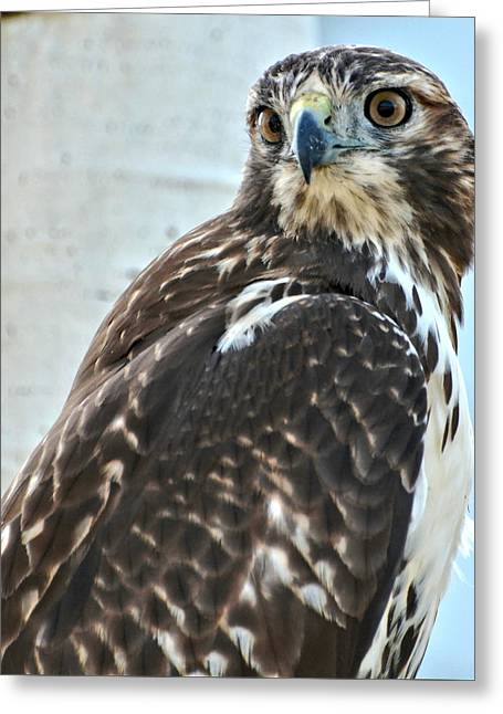 Hunting Bird Greeting Cards - Red Tailed Hawk Greeting Card by Amy McDaniel