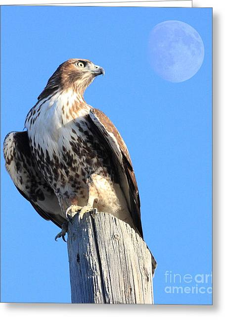 Animals Art Greeting Cards - Red Tailed Hawk and Moon Greeting Card by Animals Art