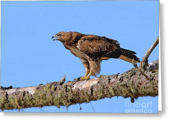 Red Tail Hawk Digital Art Greeting Cards - Red-tailed Hawk Greeting Card by Betty LaRue