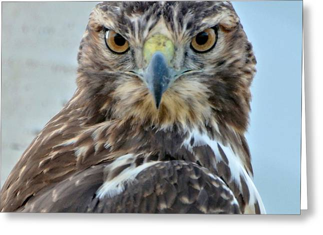 Hunting Bird Greeting Cards - Red Tailed Hawk Close Up Greeting Card by Amy McDaniel