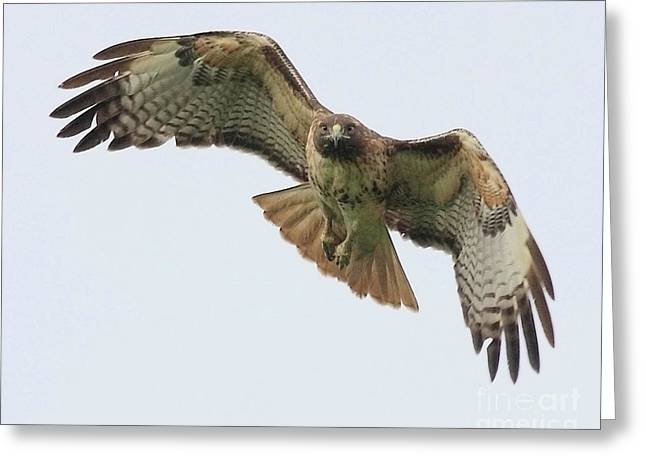 Bird In Flight Greeting Cards - Red Tailed Hawk Finds Its Prey Greeting Card by Wingsdomain Art and Photography