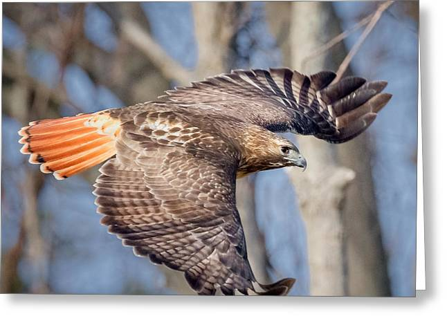 Redtailed Hawks Greeting Cards - Red Tailed Hawk Flying Greeting Card by Bill Wakeley