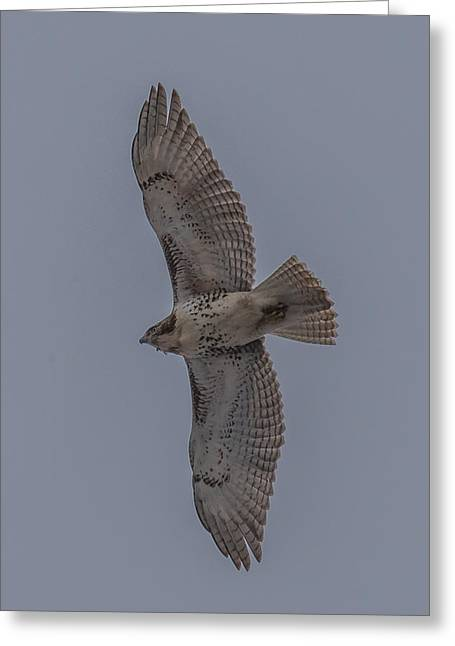 Cabin Wall Greeting Cards - Red Tailed Hawk Flying Greeting Card by Paul Freidlund