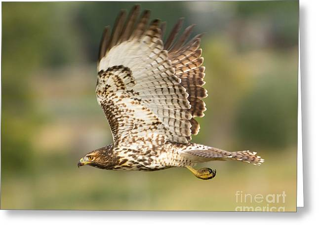 Hunting Bird Greeting Cards - Red Tailed Hawk Hunting Greeting Card by Dennis Hammer