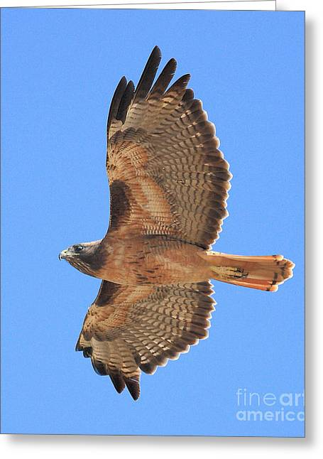 Flying Hawk Greeting Cards - Red Tailed Hawk in Flight 2 Greeting Card by Wingsdomain Art and Photography