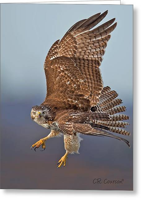 Red-tailed Hawk In Flight Greeting Card by CR  Courson