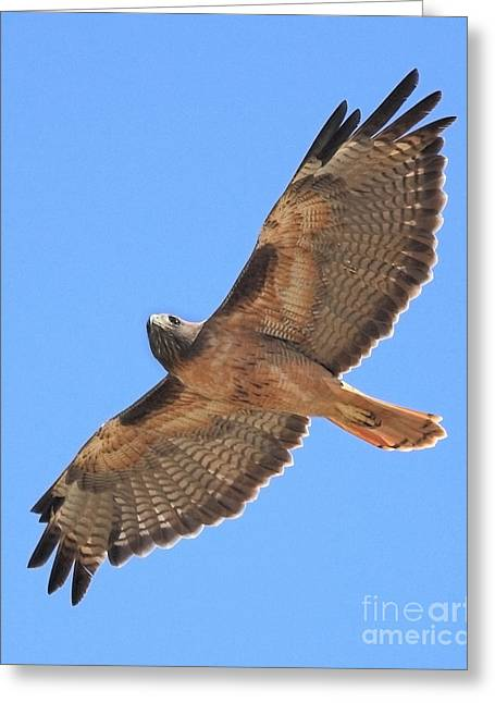 Red Tailed Hawk In Flight Greeting Card by Wingsdomain Art and Photography