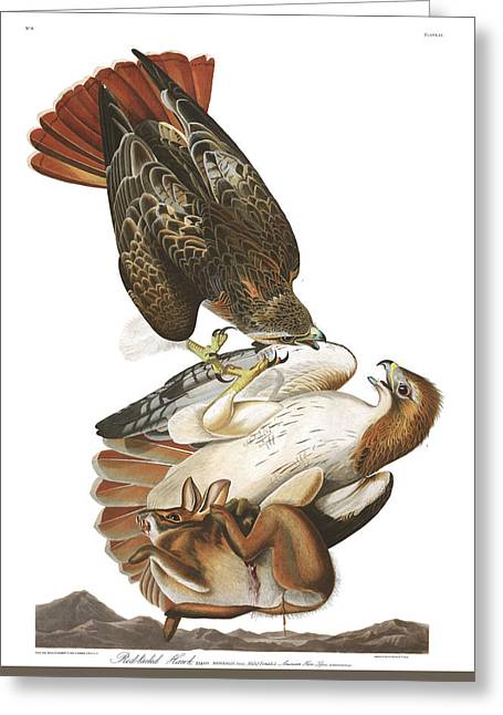 Red-tail Hawk Greeting Cards - Red Tailed Hawk Greeting Card by John James Audubon
