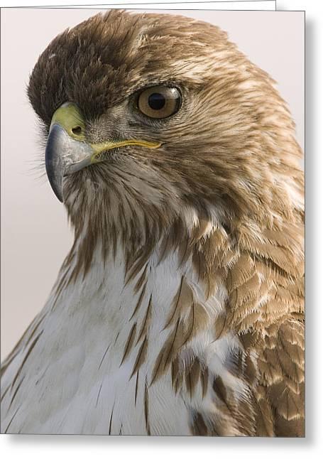 Red Tailed Hawk Juvenile Stevens Creek Greeting Card by Sebastian Kennerknecht