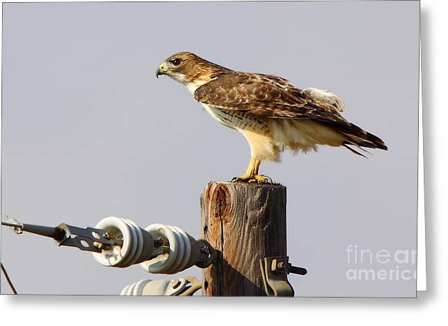 Cabin Wall Greeting Cards - Red Tailed Hawk Perched Greeting Card by Robert Frederick