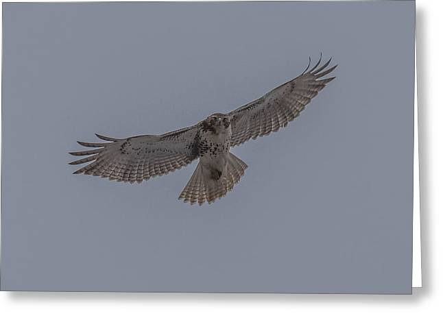 Cabin Wall Greeting Cards - Red Tailed Hawk Soaring Greeting Card by Paul Freidlund