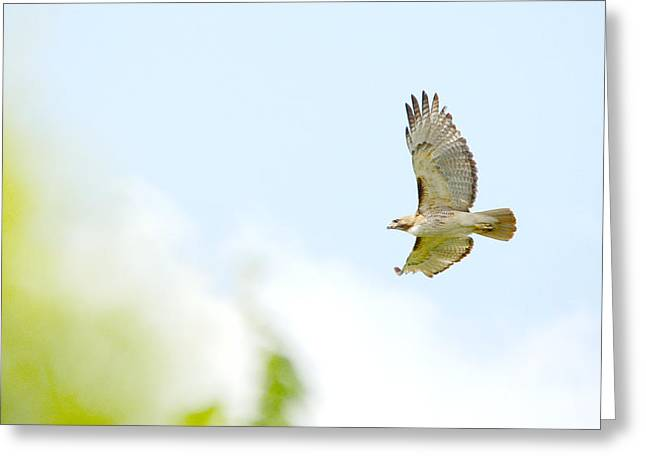 Hunting Bird Greeting Cards - Red-tailed Hawk Soaring Greeting Card by Roy Williams