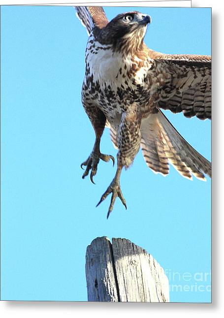 Rth Greeting Cards - Red Tailed Hawk Taking Off . 40D10170 Greeting Card by Wingsdomain Art and Photography