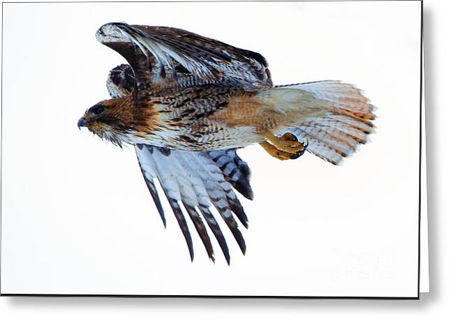 Red-tailed Hawk Winter Flight Greeting Card by Mike Dawson
