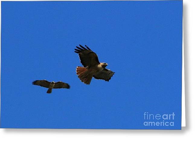 Hunting Bird Greeting Cards - Red-Tailed Hawks Soar Together Greeting Card by Craig Corwin