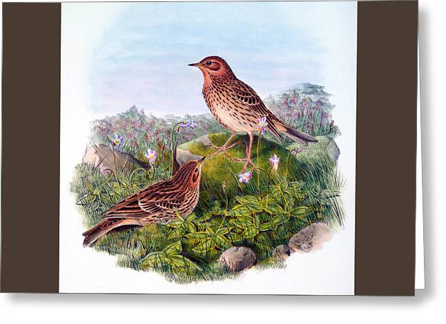 Red Throated Pipit Antique Bird Print William Hart Birds Of Great Britain  Greeting Card by John Gould - William Hart