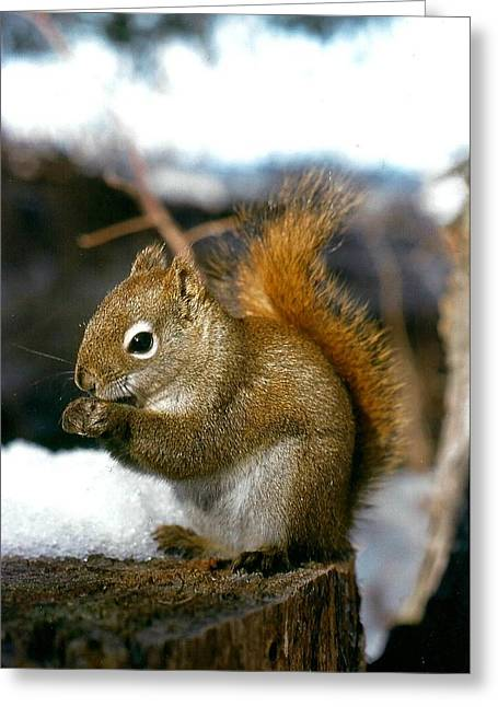 Brown Greeting Cards - Red Tree Squirrel Greeting Card by Shirley Sirois