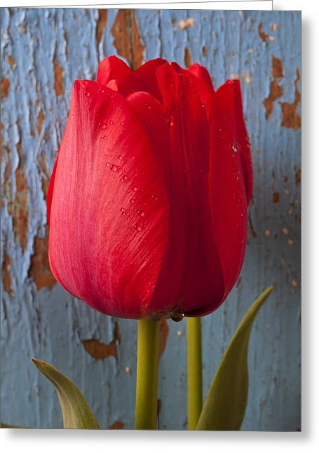 Wet Petals Greeting Cards - Red Tulip Greeting Card by Garry Gay