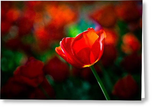 Spring Bulbs Greeting Cards - Red tulip - Magic Greeting Card by Alexander Senin