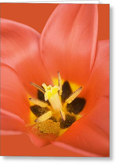 Florescence Greeting Cards - Red Tulip Greeting Card by Marc Huebner
