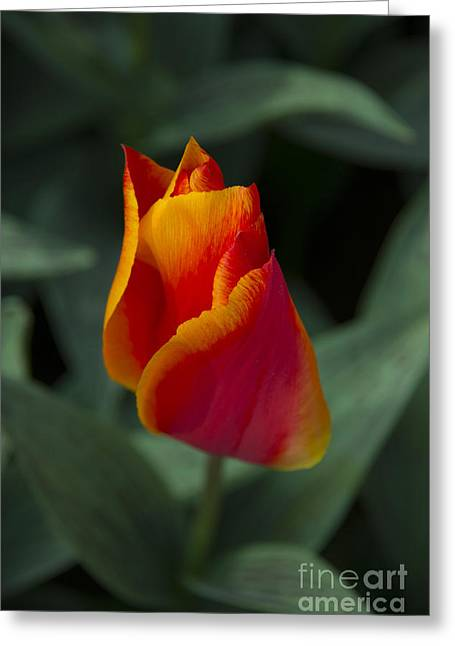 Rood Greeting Cards - Red tulip  Greeting Card by Rob Hawkins
