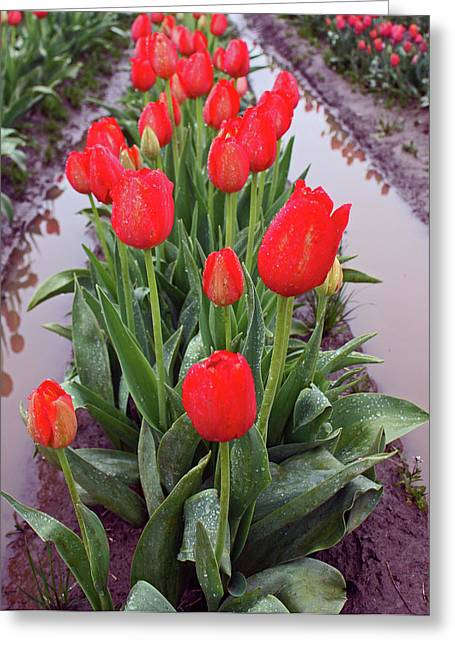 Red Tulip Row Greeting Card by Kami McKeon