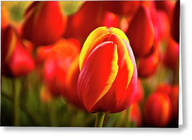 Red Tulip Greeting Card by Tamyra Ayles