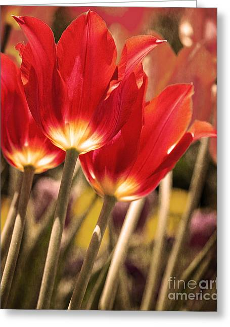 Green Day Greeting Cards - Red Tulip Greeting Card by Tom Gari Gallery-Three-Photography