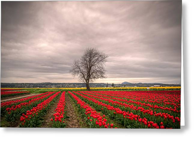 Tulip Tree Greeting Cards - Red Tulips and a Tree Greeting Card by Spencer McDonald