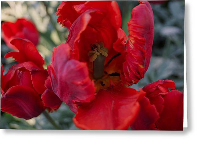 Van Gogh Style Photographs Greeting Cards - Red Tulips Greeting Card by Lana Art