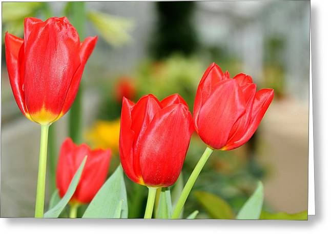 Red Photographs Pyrography Greeting Cards - Red Tulips Greeting Card by Patrick  Short