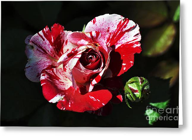 White Clay Greeting Cards - Red Verigated Rose Greeting Card by Clayton Bruster