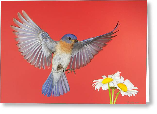 4th July Photographs Greeting Cards - Red White And Bluebird Forever Greeting Card by Gerry Sibell