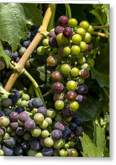 Mountain Valley Greeting Cards - Red Wine Grape Colors in the Sun Greeting Card by Teri Virbickis