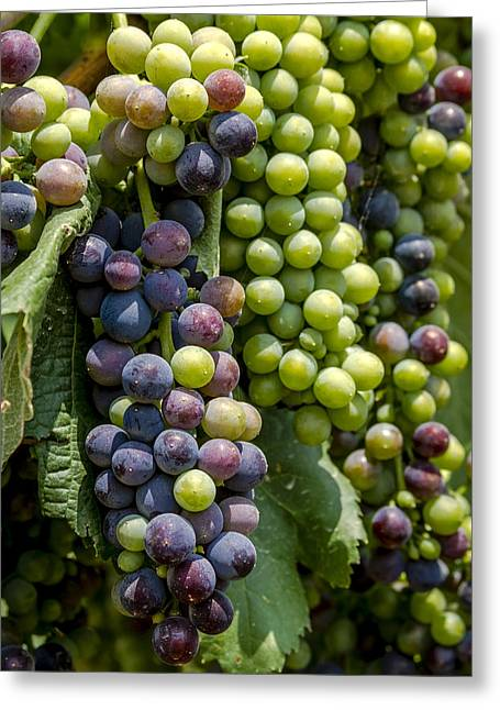 Mountain Valley Greeting Cards - Red Wine Grapes in the Vineyard Greeting Card by Teri Virbickis