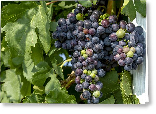 Mountain Valley Greeting Cards - Red Wine Grapes on the Vine Greeting Card by Teri Virbickis