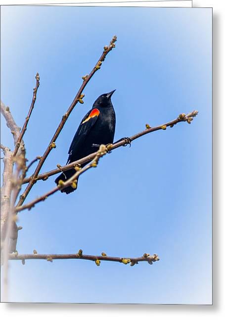 Songbird Prints Greeting Cards - Red Winged Blackbird 2 Greeting Card by Steve Harrington