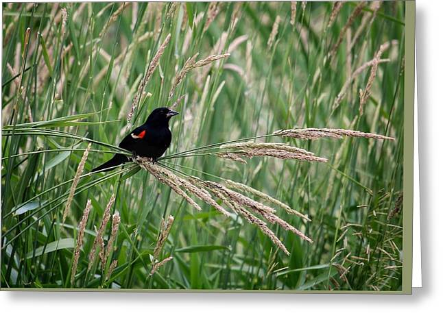 Meadow Photographs Greeting Cards - Red-winged Blackbird Greeting Card by LeAnne Perry