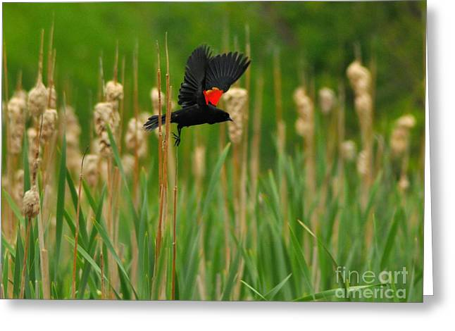 Flying Animal Greeting Cards - Red-winged Blackbird Greeting Card by Merrimon Crawford