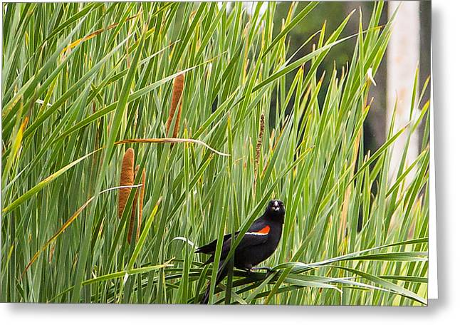 Red-winged Blackbird Pa 2014 Greeting Card by Eric Sloan