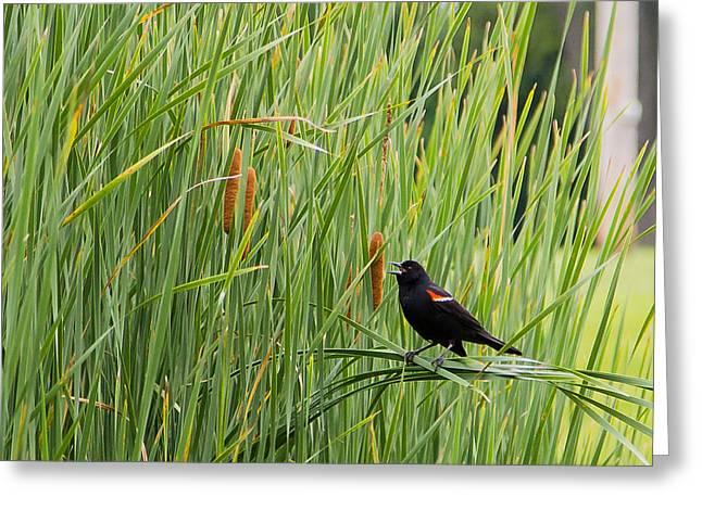Red-winged Blackbird Pa 2014 Nr 2 Greeting Card by Eric Sloan