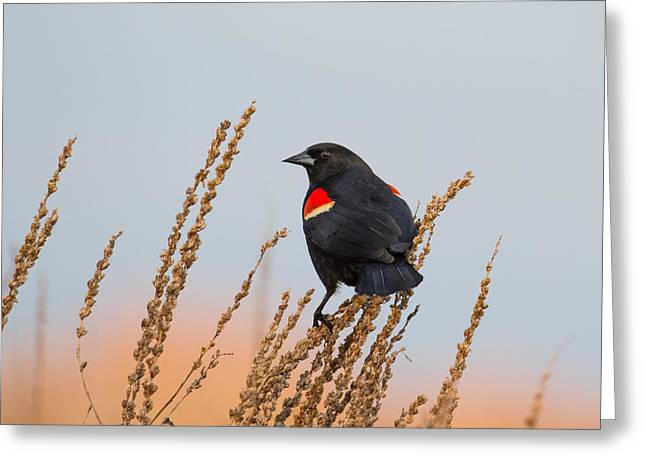 Concord Greeting Cards - Red-Winged Blackbird Greeting Card by Phillip McNeil