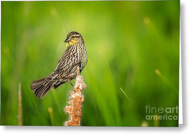 Feeding Birds Greeting Cards - Red Winged Blackbird  Greeting Card by Todd Bielby