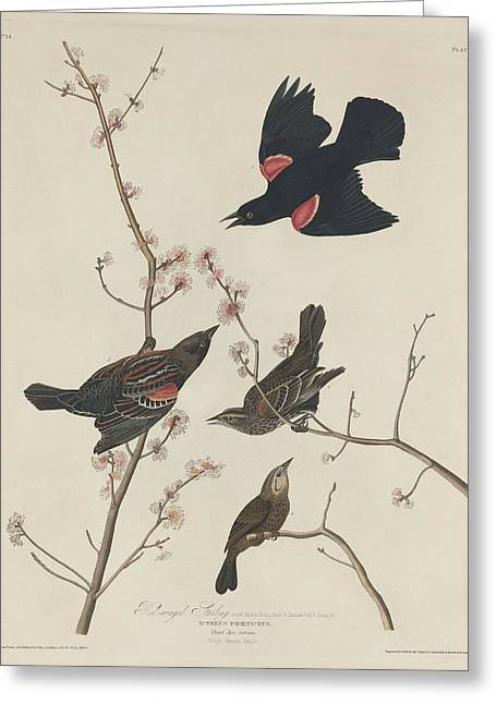 Starlings Greeting Cards - Red-Winged Starling Greeting Card by John James Audubon