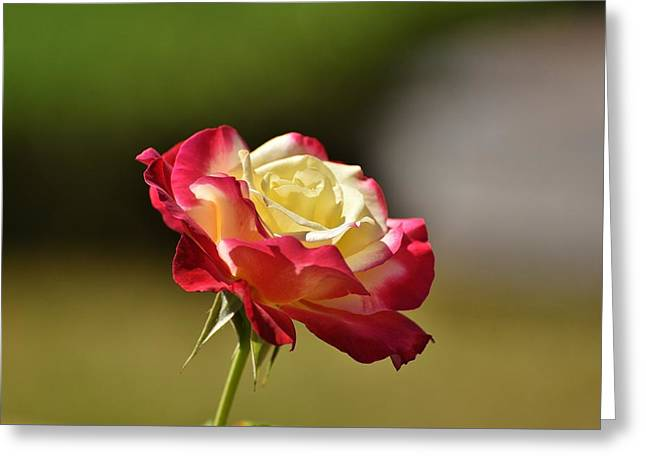 Multicolored Roses Greeting Cards - Red Yellow Rose II Greeting Card by Linda Brody