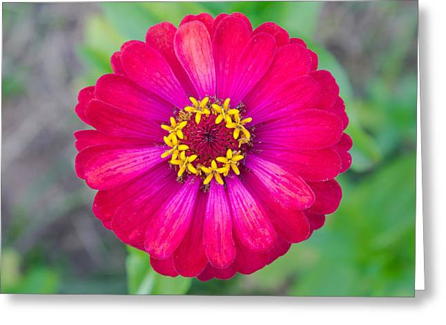 Flower Blossom Greeting Cards - Red Zinnia Flower at Center Closeup Greeting Card by Sitthipong Mahasansombut